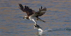 Águila pescadora. / http://southkayak.com