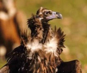 Siete buitres negros españoles serán liberados en Francia para reintroducir la especie