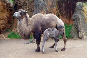 La cría de camello bactriano nacida en Cantabria.