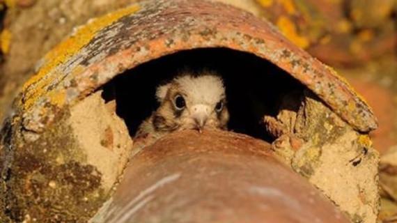 Varias colonias de cernícalo primilla en Extremadura, declaradas Zonas de Especial Protección para las Aves
