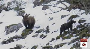 Ejemplares de oso pardo. / Foto: Fundación Oso Pardo.