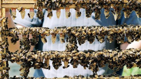 Demuestran que las abejas de la miel compiten con las salvajes por el mismo hábitat
