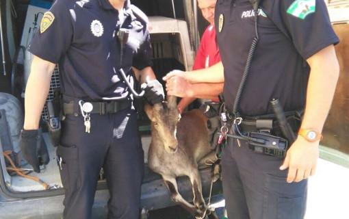 Capturan en el interior de una pizzería a una cabra montés extraviada por el casco urbano de Granada