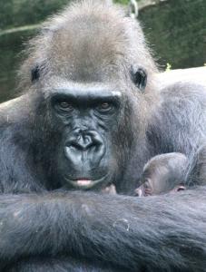 El gorila sostiene a su cría. / Foto: Zoo de Barcelona.