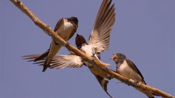 Instalan una cámara en la UAM para seguir las 24 horas del día un nido de golondrinas