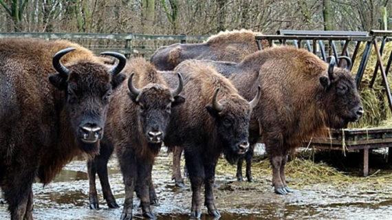Varios bisontes europeos llegan a la Reserva valenciana de Valdeserrillas de Benagéber