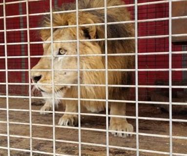La Guardia Civil interviene dos leones y una pantera en una operación contra el tráfico ilegal de animales