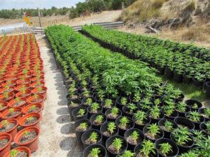 Gran plantación de marihuana localizada en Alba de Cerrato.