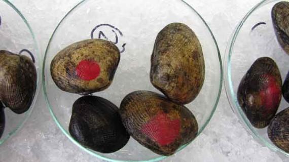 Utilizan la almeja japonesa para detectar la presencia de nanopartículas de oro en el mar