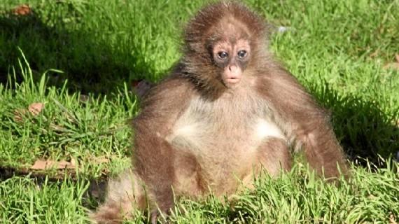 Una cría de mono araña cumple su primer año en el Zoo de Barcelona
