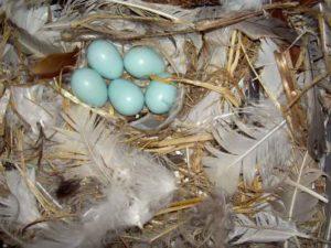 Las plumas tienen efectos antibacterianos.