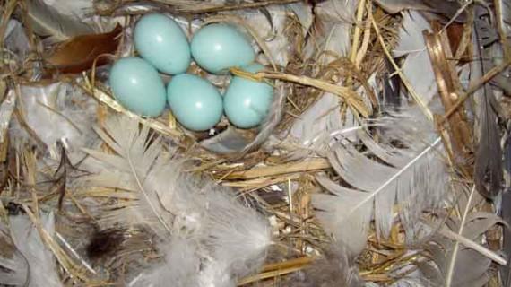 Demuestran el efecto antibacteriano de las plumas en la construcción de nidos