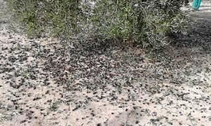Demuestran que la separación de aceitunas del árbol y del suelo mejora la calidad de aceite de oliva virgen