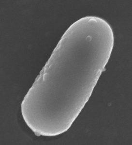 'Lactobacillus pentosus MP-10', al microscopio.