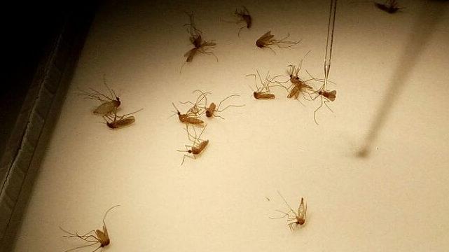 Identifican en la saliva de mosquitos un parásito implicado en la transmisión de la malaria en aves
