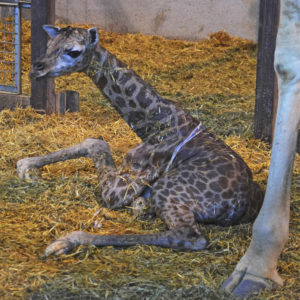 Nace una nueva jirafa en Bioparc. / Foto: Bioparc