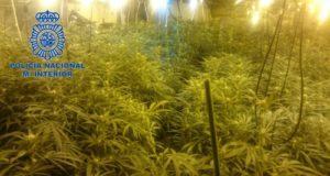 Tenían plantaciones de marihuana.
