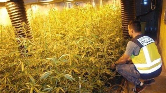 Desmantelan en Alicante un cultivo 'indoor' de marihuana con 560 plantas