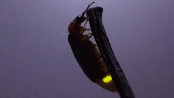 Una luciérnaga voladora vista por última vez hace casi un siglo en España, objetivo de los expertos este verano