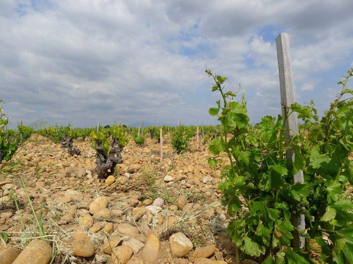 Sustituir variedades, clave para adaptar la viticultura al cambio climático