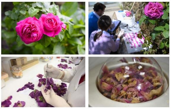 Científicos mejoran lCientíficos mejoran la primera variedad de rosa cultivada antigua españolaa primera variedad de rosa cultivada antigua española