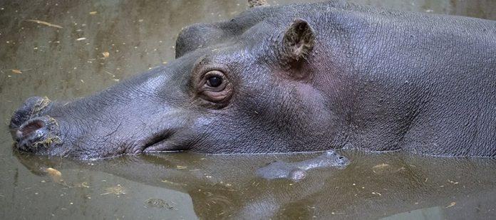 Valencia saluda al nuevo hipopótamo de BIOPARC