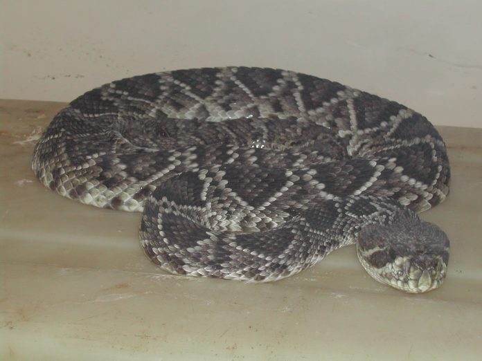 Desarrollan un tratamiento contra la mordedura de serpientes hemotóxicas