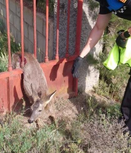 Rescatan a un corzo atrapado en una valla en Teruel