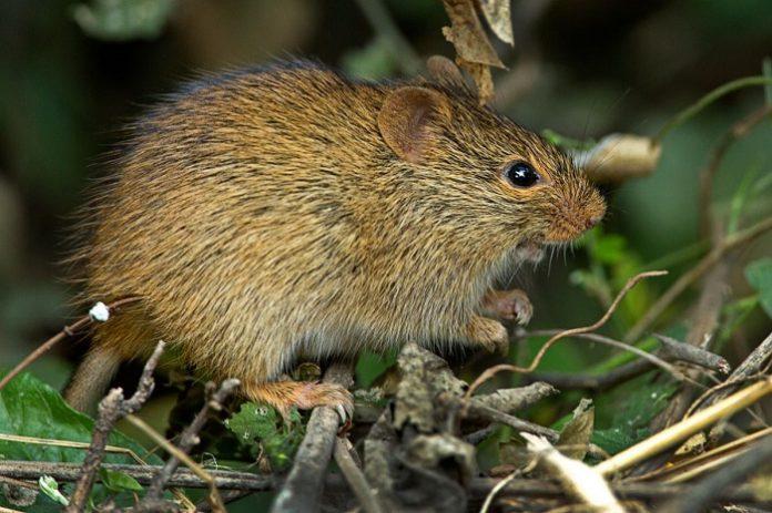 Investigadores españoles descubren una nueva especie extinta de roedor de grandes dimensiones