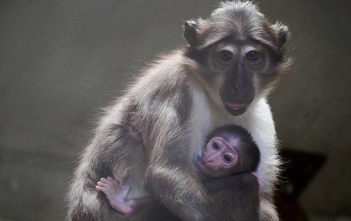 Nace en Valencia una cría de una especie de mono en peligro de extinción