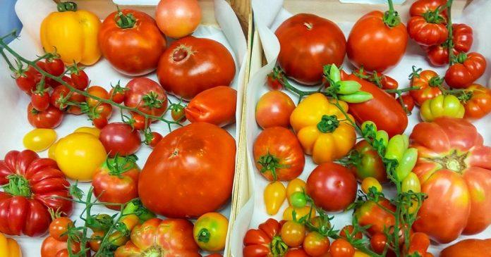 Tomates de más calidad, con más sabor y más resistentes contra virus