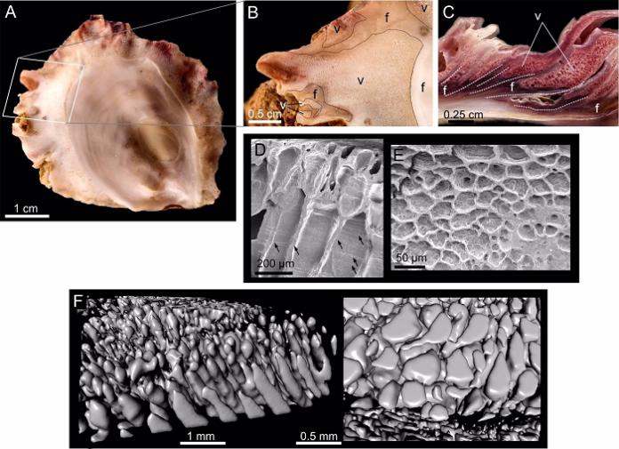 Las ostras fabrican materiales espumosos con una técnica similar a la impresión 3D