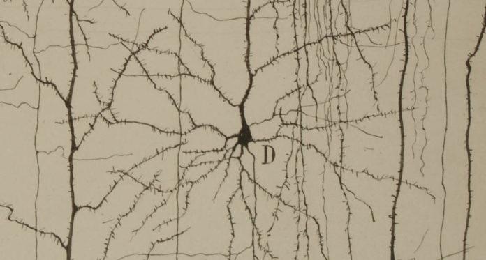 12 dibujos científicos originales expuestos del Legado Cajal